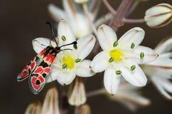 天飞行在花的Burnet飞蛾- Zygaena fausta 图库摄影