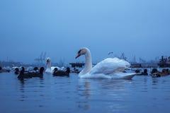 天鹅、鸭子、鸥和秃头老傻瓜 天鹅、鸭子和鸥在海口水域中在一个多云冬日 免版税库存图片
