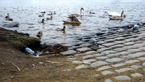 天鹅、鸭子和雄鸭在河在布拉格 股票视频
