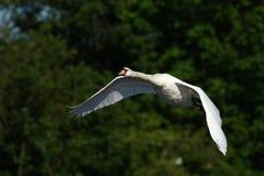 天鹅和一只巨型白色鸟-飞行秀丽 免版税库存图片