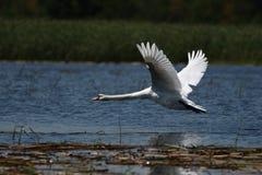 天鹅和一只巨型白色鸟-飞行秀丽 库存照片