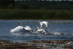 天鹅和一只巨型白色鸟-飞行秀丽 免版税库存照片