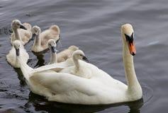 天鹅和她的五只小鸡在湖游泳 免版税库存图片