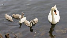 天鹅和她的六只小鸡在岸附近游泳 免版税库存图片