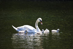 天鹅和它的年轻人在圣詹姆斯的公园 免版税库存照片