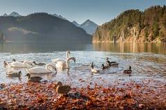 天鹅和小野鸭野鸭在Hohenschwangau湖游泳 免版税库存照片
