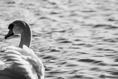 天鹅和海 免版税库存图片