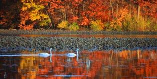 天鹅和秋天反射 免版税库存图片