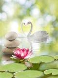 天鹅和莲花在水在公园 免版税库存图片