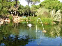 天鹅和鸭子在池塘 免版税库存图片