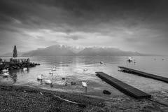 天鹅和鸭子在莱芒湖在洛桑,瑞士 免版税库存照片
