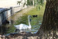 天鹅和鸭子在车道 免版税库存图片