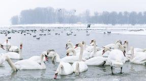 天鹅和鸭子游泳在冻河 免版税库存照片