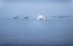 天鹅和鹅在有薄雾的湖 库存图片