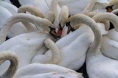 天鹅哺养 免版税库存照片