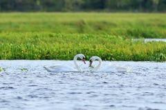 天鹅喑哑 两三只鸟在s的Yamal森林寒带草原 库存图片