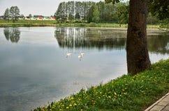天鹅在一个农村池塘游泳反对村庄房子背景  免版税图库摄影