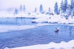 天鹅在一个神秘的湖 库存图片