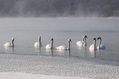 天鹅在冬天 免版税库存照片