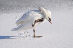 天鹅在冬天 库存照片