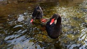 黑天鹅在冬天 免版税库存图片