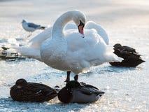 天鹅在冰的清洁羽毛 库存图片