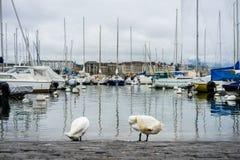 天鹅在小游艇船坞清洗自己在欧洲老镇 图库摄影