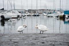 天鹅在小游艇船坞清洗自己在欧洲老镇 免版税库存照片