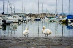 天鹅在小游艇船坞清洗自己在欧洲老镇 免版税图库摄影