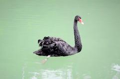黑天鹅在山湖 免版税库存照片