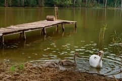 天鹅在岸,在湖的天鹅来了有桥梁的 库存图片
