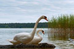天鹅在岸,在湖的天鹅来了有桥梁的 库存照片