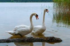 天鹅在岸,在湖的天鹅来了有桥梁的 免版税库存照片