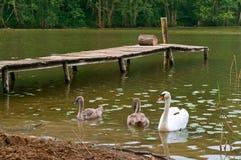 天鹅在岸,在湖的天鹅来了有桥梁的 图库摄影