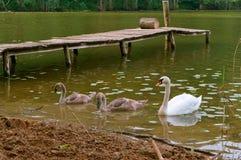 天鹅在岸,在湖的天鹅来了有桥梁的 免版税图库摄影