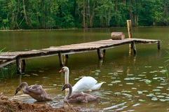 天鹅在岸,在湖的天鹅来了有桥梁的 免版税库存图片