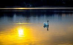 天鹅在日落的湖 免版税图库摄影