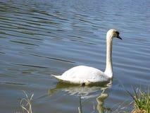 天鹅在春天的一个池塘 免版税库存图片