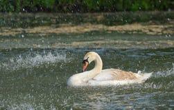 天鹅在春雨中 免版税库存照片