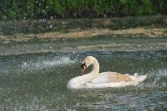 天鹅在春雨中 库存图片