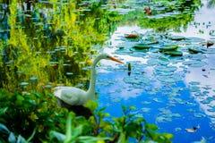 天鹅在有草的湖 库存图片