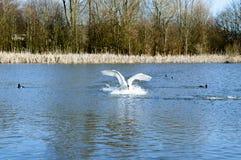 天鹅在期间从水离开 免版税库存图片