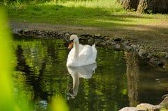 天鹅在池塘游泳 反映在水中 免版税图库摄影