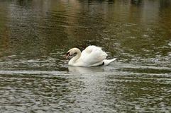 天鹅在池塘 免版税库存图片