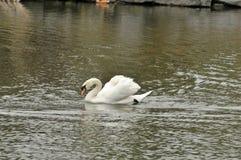 天鹅在池塘 免版税图库摄影