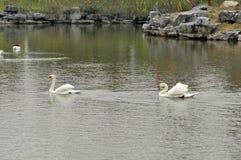 天鹅在池塘 免版税库存照片