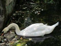天鹅在沃龙佐夫宫殿的被保护的自然区域 库存图片