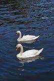 天鹅在河 库存图片