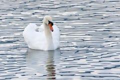 天鹅在浪潮起伏的水域中, Zurich湖 免版税库存图片