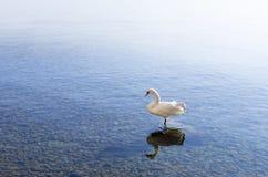 天鹅在湖奥赫里德 免版税库存照片